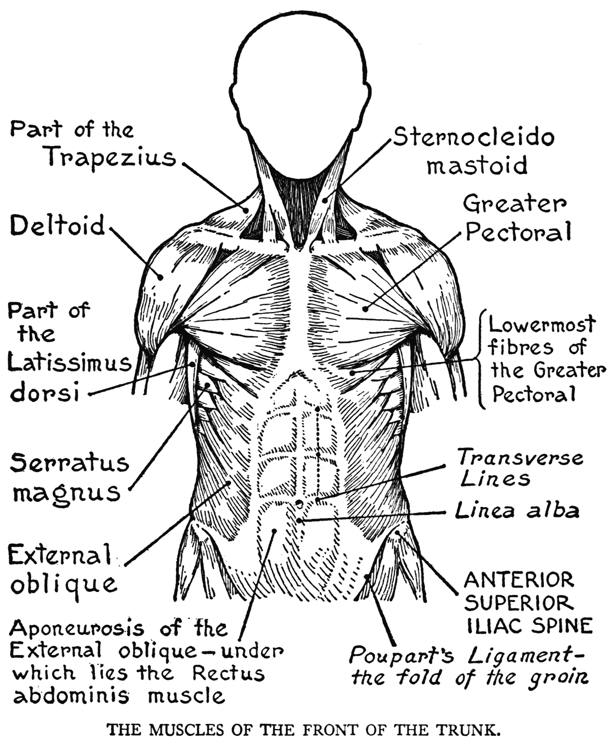 Muscular System Coloring Page | Bed Mattress Sale