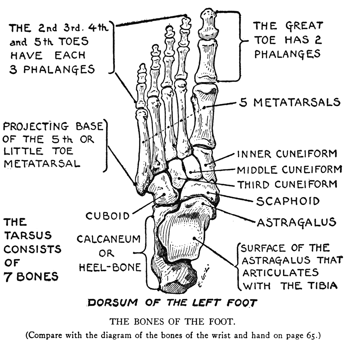 Knee together with Hand And Wrist Bone Anatomy likewise Foot Bones Chart together with Foot Veins Diagram besides Running With Peroneal Tendonitis. on left foot tendons diagram