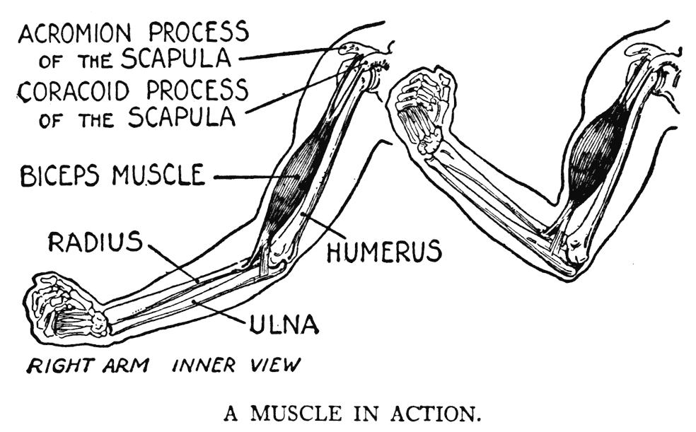 question set on skeletal muscle physiology Study questions the study questions are prepared purposely to help the visitor of the site (student) to remember some important points in the process of skeletal.